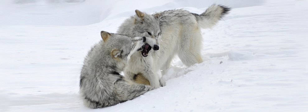 wolves-west-yellowstone-montana