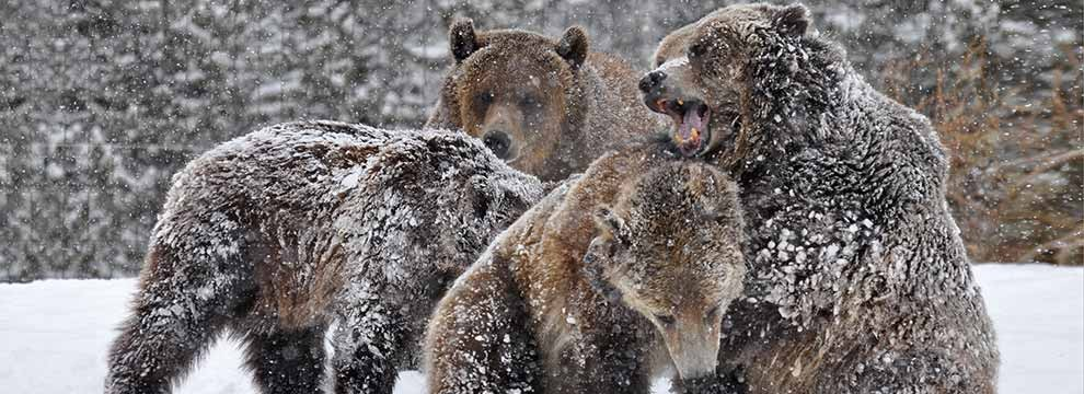 grizzly-bears-west-yellowstone-montana